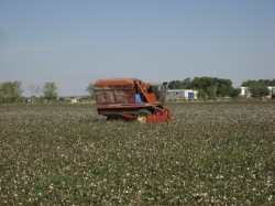 harvesting the cotton